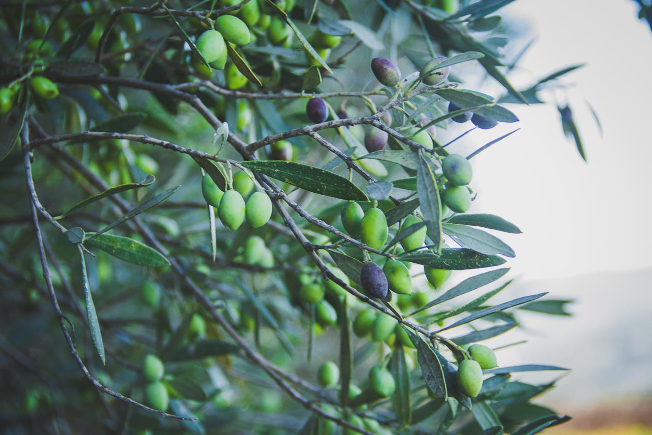Crete-Olives-3