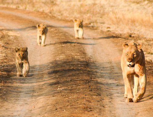 Madikwe : mes plus beaux safaris d'Afrique du Sud