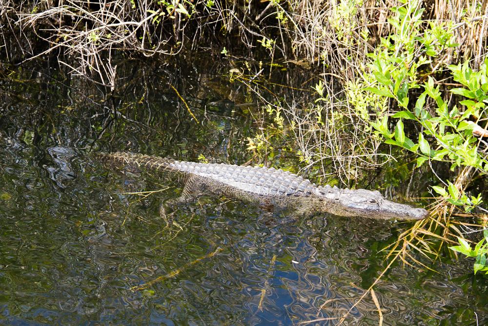 Aligator everglades
